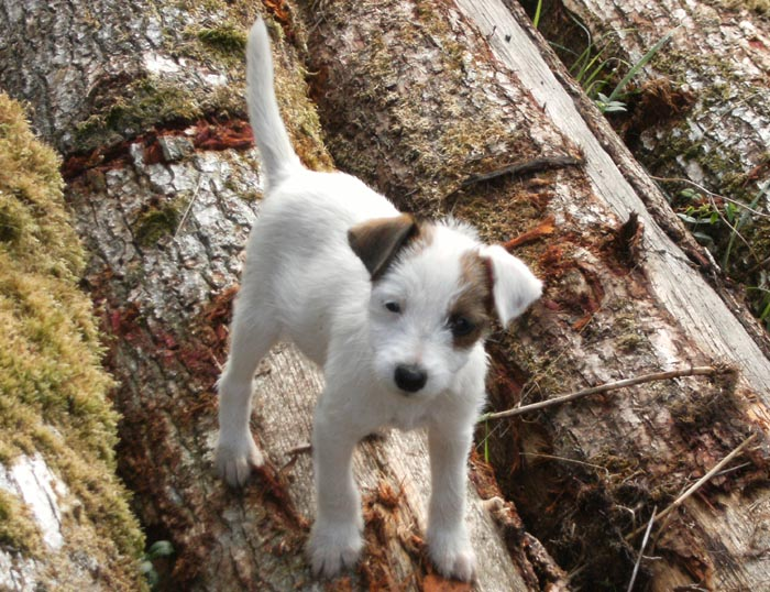 Chiot JParson Russell Terrier