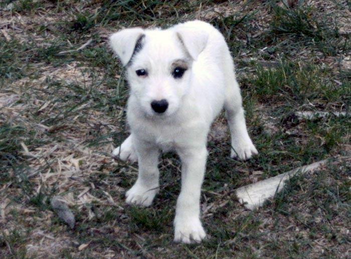 Chiot Parson Russell Terrier