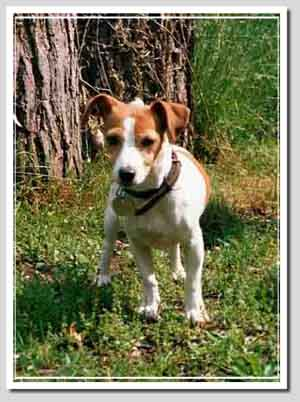 Parson Russell Terrier and Jack Russell Terrier, photo Noisette